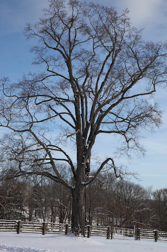 Shag Bark Maple http://www.themarthablog.com/2012/01/after-the-snow-stopped-falling.html