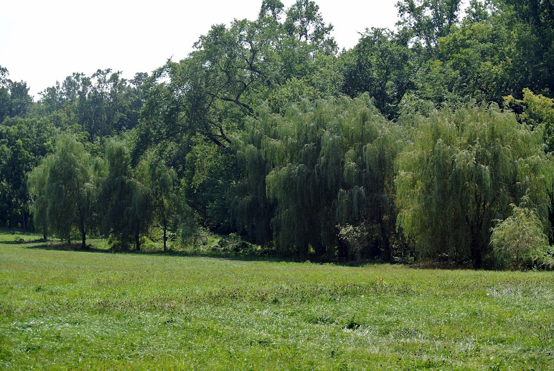 Trimming My Weeping Willow Trees - The Martha Stewart Blog