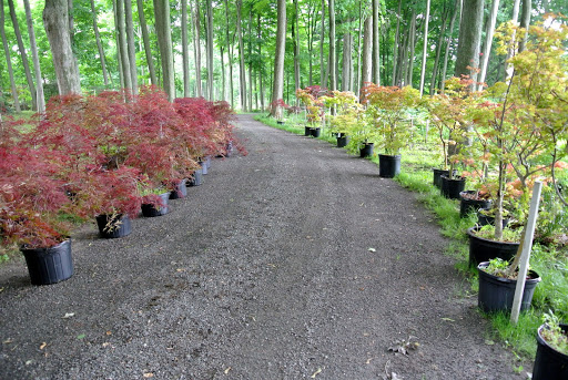An Update on My Japanese Maples