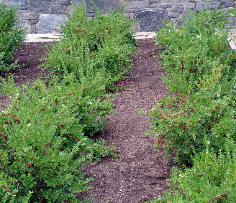 Harvesting Gooseberries - The Martha Stewart Blog