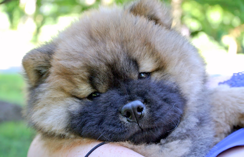 the martha stewart blog blog archive an update on my chow chow puppy