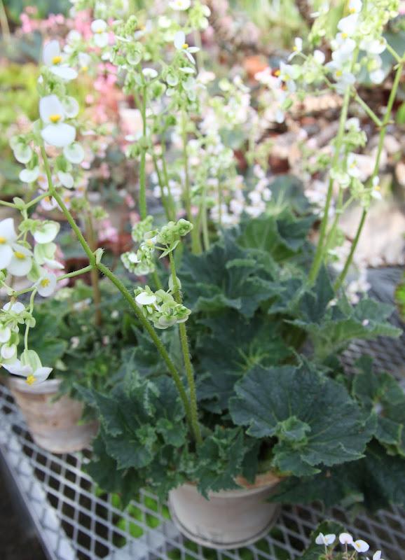Beautiful Begonias In The Greenhouse The Martha Stewart Blog