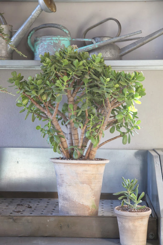 Repotting Jade Plants The Martha Stewart Blog