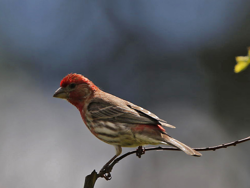 Bird with red head and breast 1505 confirm. And