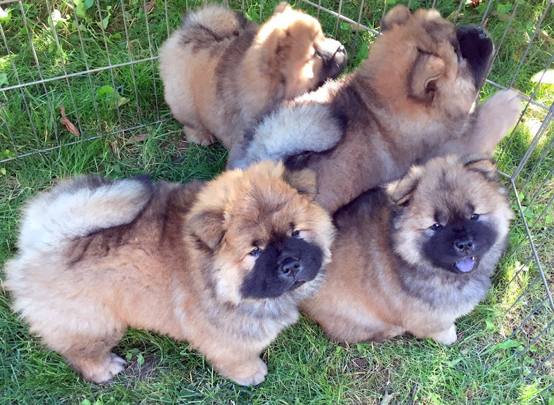 The Martha Stewart Blog Blog Archive Chow Chow Puppies