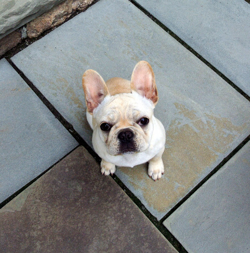 An Update on My French Bulldog Puppies The Martha Stewart Blog